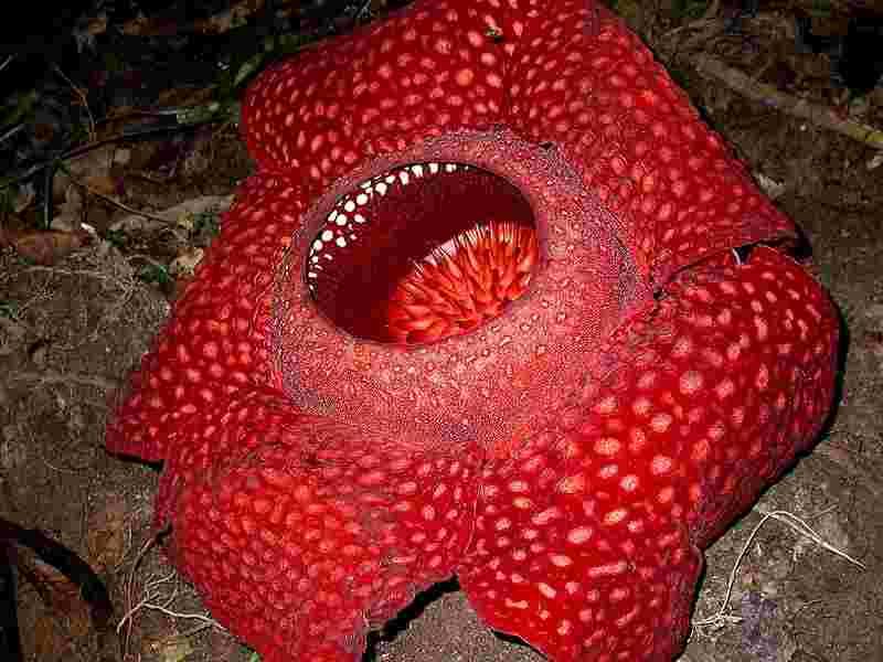 rafflesia_arnoldi_8