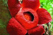 આ છે દુનિયાનું સૌથી મોટું ફૂલ