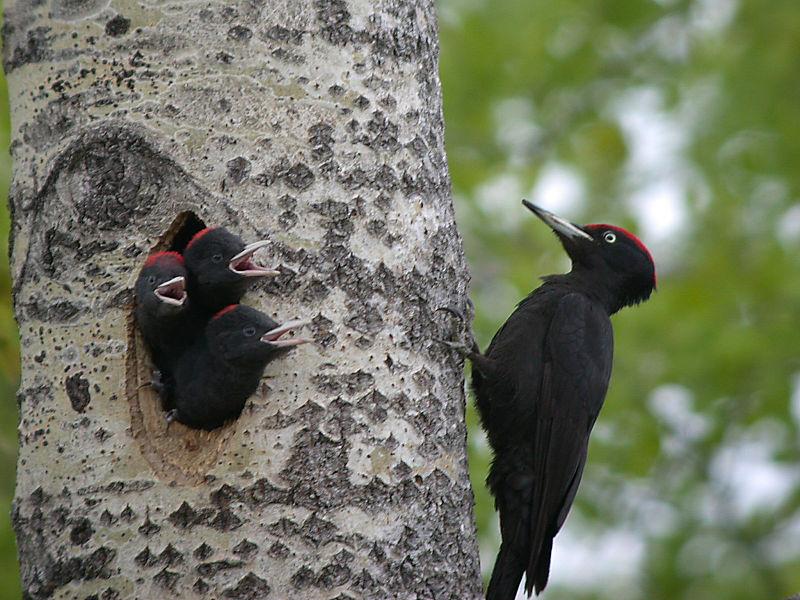 BlackWoods best nest making bird