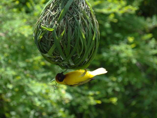 Yellow-weaver-bird-nest