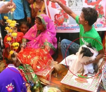 સુરતમાં કૂતરા-કૂતરીના ધામધૂમથી લગ્ન, એક મહિનાથી કૂતરો કરતો હતો પીછો