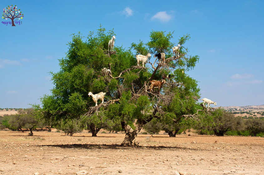 Here goats climb trees, what's the secret?