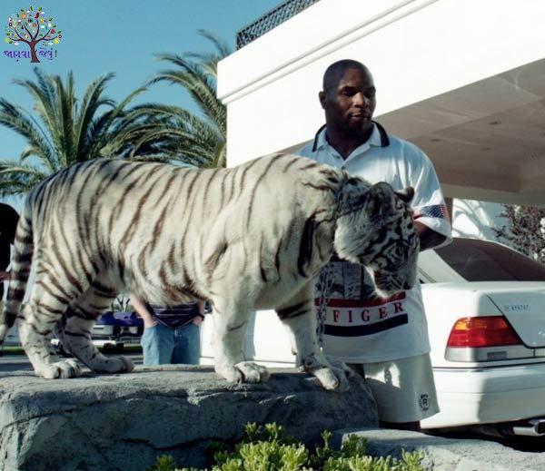 Boxer tigers had to heavy hobbies in millioneir