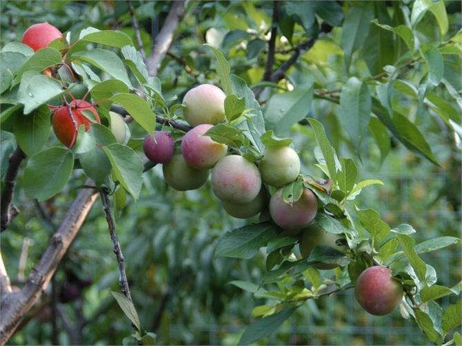 Strenge! Is one of 40 kinds of fruit on the tree
