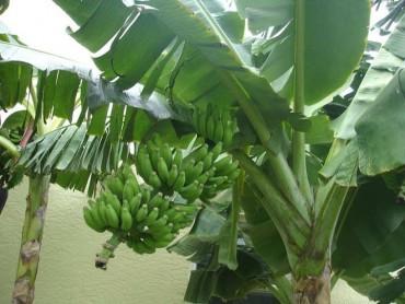 હિન્દૂ શાસ્ત્રોમાં કેળા ને કેમ શુભ માનવામાં આવે છે? અચૂક જાણો