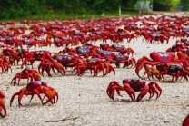 The-Moment-120-Million-Red-Crabs-Have-Been-Waiting-For