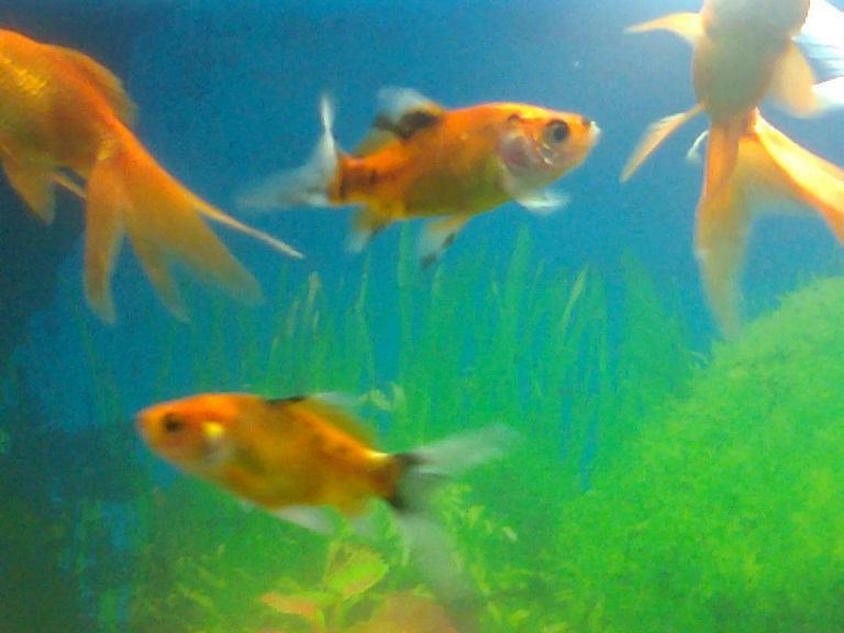 goldfish_ aquarium_ ahmedabad