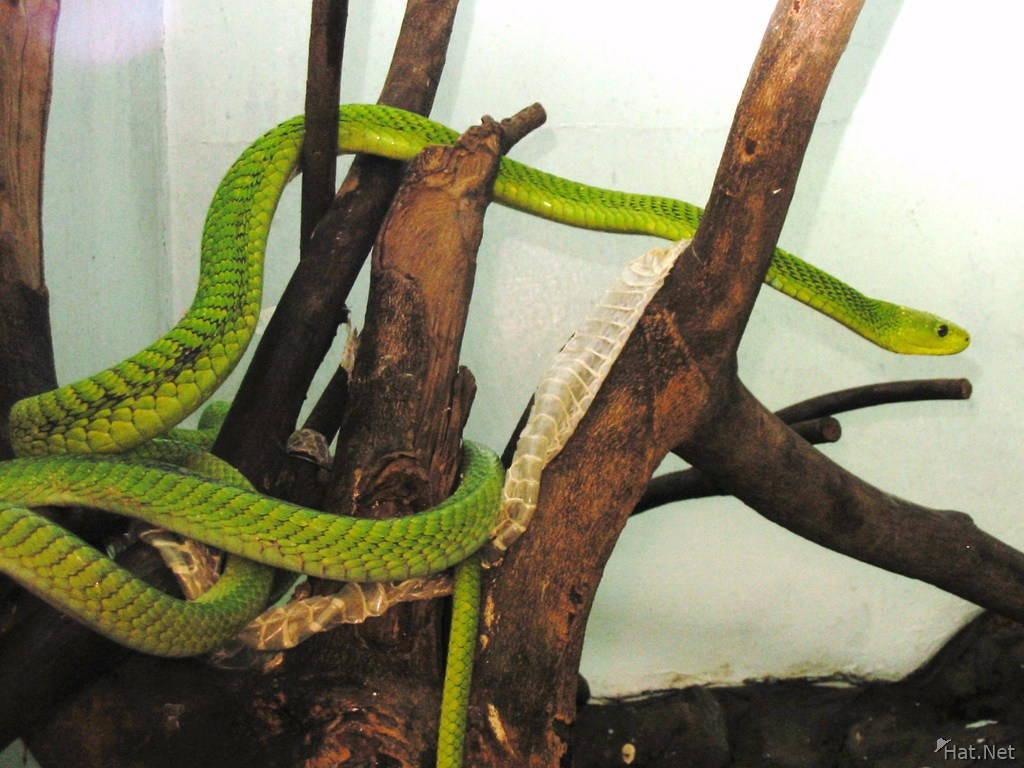 070918094132_arboreal_hunter_-_nairobi_snake_park