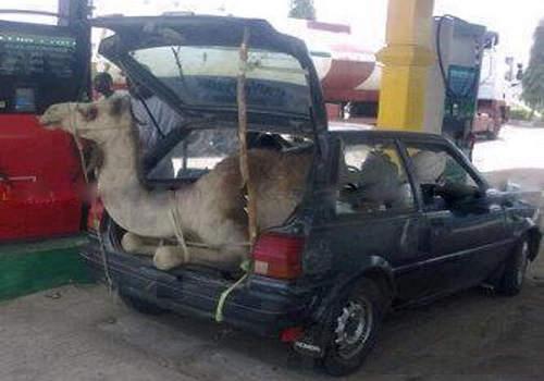 camel-jugaad