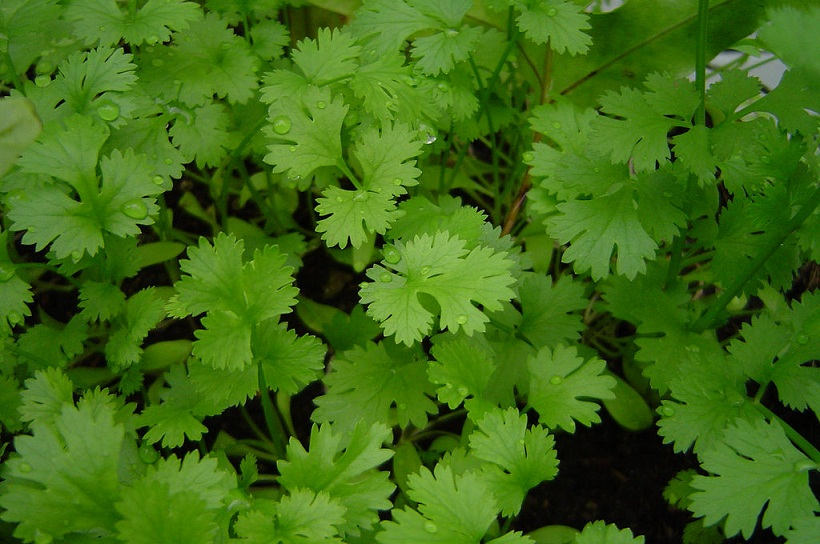 coriander_in_a_closeup