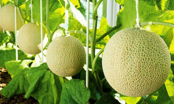 musk-melon-health-benefits-pharmacological