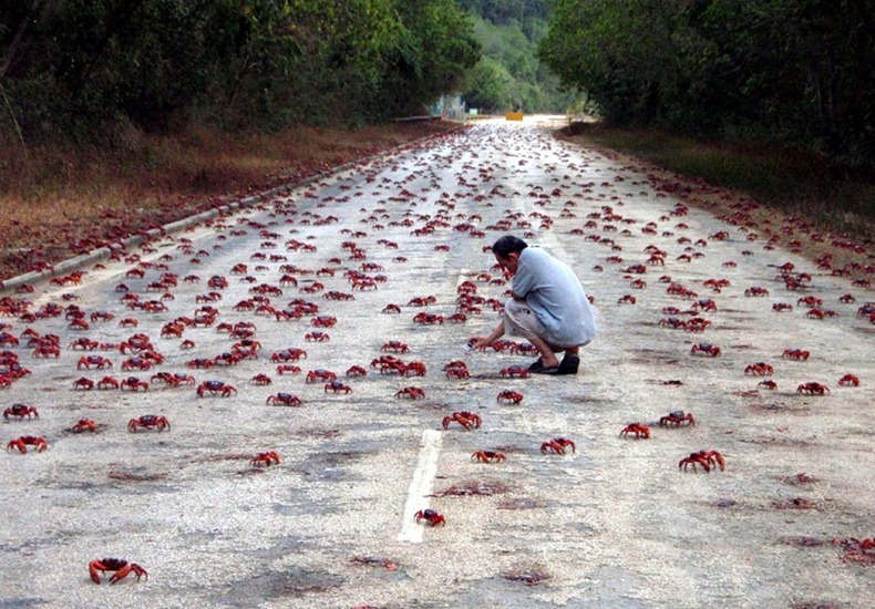 red-crab-migration-2[2]