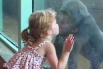 little-girl-and-baby-gorilla-make-friends-jpg
