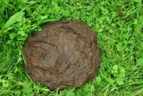 freshly laid cow dung_0