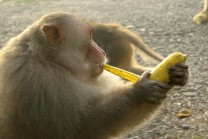 interesting_facts_about_monkeys_eating_banana