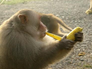 જાણો, વાંદરાઓ વિષે, જે ખાય છે કેળા છાલ ઉતારીને…..