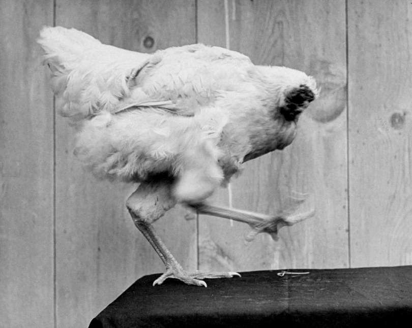headless chicken lives for 15th months | Janvajevu.com