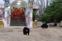 bear-worship-ma-chandi-devi-1443251499
