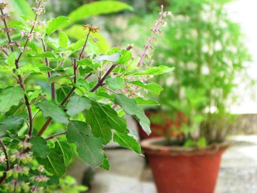 1299304211tulsi-plant