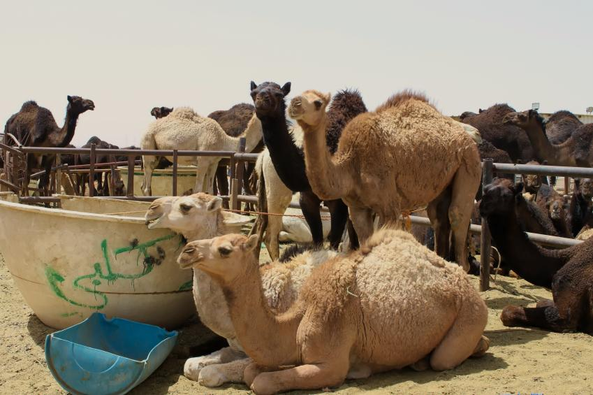 riyadh_camel_market