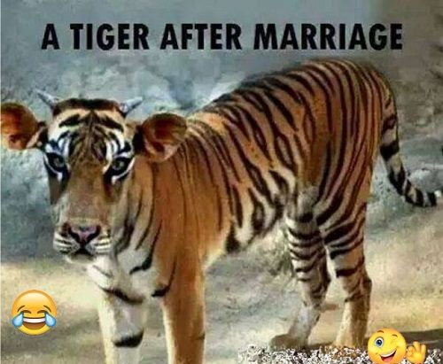 A-Tiger-After-Marriage-Funny-Image-500x411