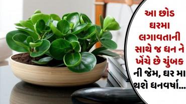 આ છોડ ઘરમા લગાવતાની સાથે જ ધન ને ખેંચે છે ચુંબક ની જેમ, ઘર મા થશે ધનવર્ષા…