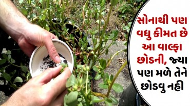 સોનાથી પણ વધુ કીમત છે આ વાલ્ફા છોડની, જ્યા પણ મળે તેને છોડવુ નહી