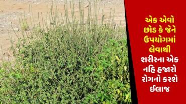 એક એવો છોડ કે જેને ઉપયોગમાં લેવાથી શરીરના એક નહિ હજારો રોગનો કરશે ઈલાજ