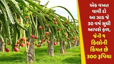 એક વખત વાવી દો આ ઝાડ જે 30 વર્ષ સુધી આપશે ફળ, જેની ૧ કિલોની કિંમત છે ૩૦૦ રૂપિયા