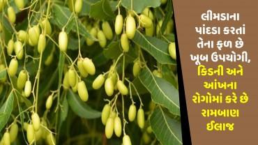 લીમડાના પાંદડા કરતાં તેના ફળ છે ખૂબ ઉપયોગી, કિડની અને આંખના રોગોમાં કરે છે રામબાણ ઈલાજ