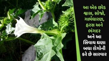 આ એક છોડ શ્વાસ, સોજો, ગર્ભધારણ, હરસ અને ભંગદર અને આ સિવાય ઘણા બધા રોગોની કરે છે સારવાર