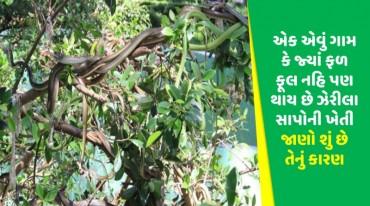 એક એવું ગામ કે જ્યાં ફળ ફૂલ નહિ પણ થાય છે ઝેરીલા સાપોની ખેતી જાણો શું છે તેનું કારણ
