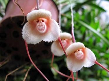 Unbelievable: આ ફૂલોમાં બને છે વાંદરાઓ ના ચહેરા!!
