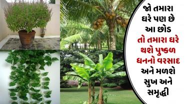 જો તમારા ઘરે પણ છે આ છોડ તો તમારા ઘરે થશે પુષ્કળ પૈસાનો વરસાદ અને મળશે સુખ અને સમૃદ્ધી